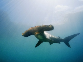 Hammerhead Maldives
